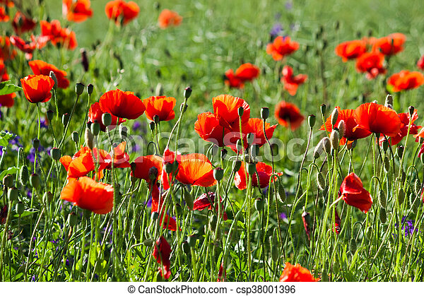 Field of red poppies in the sun - csp38001396