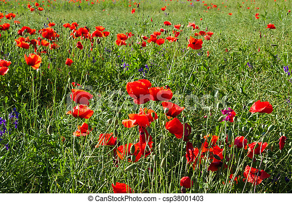 Field of red poppies in the sun - csp38001403