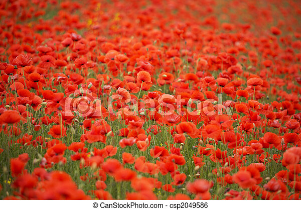 Field of red poppies - csp2049586
