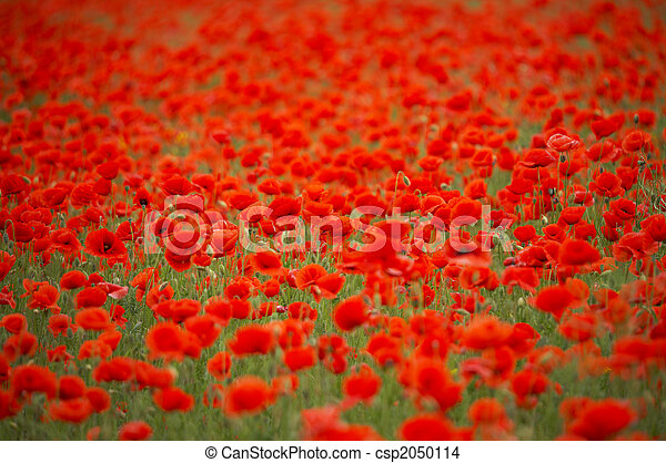 Field of red poppies - csp2050114