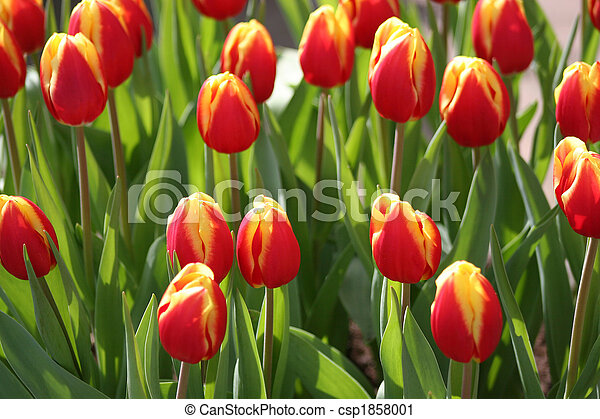 field of red tulips - csp1858001