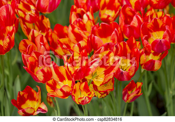 field of red tulips - csp82834816