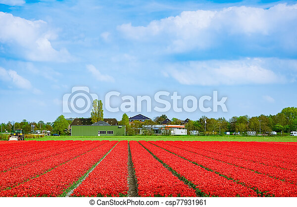 Field of red tulips - csp77931961