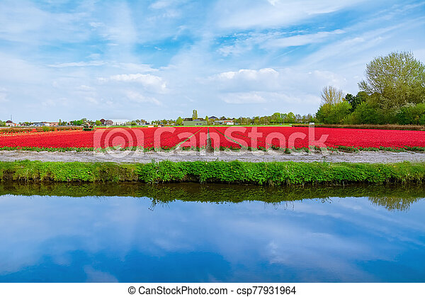 Field of red tulips - csp77931964