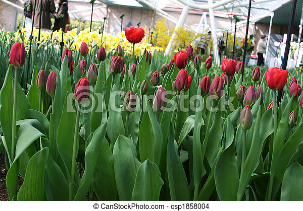 field of red tulips - csp1858004