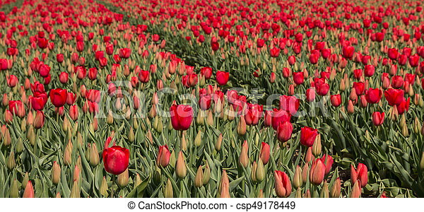 Field of red tulips - csp49178449