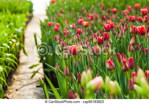 Field of red tulips - csp56183823