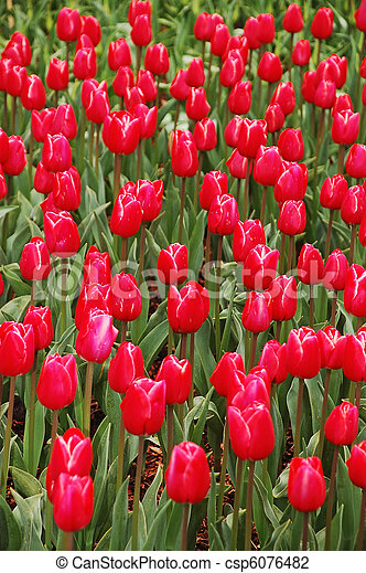 Field of red tulips - csp6076482