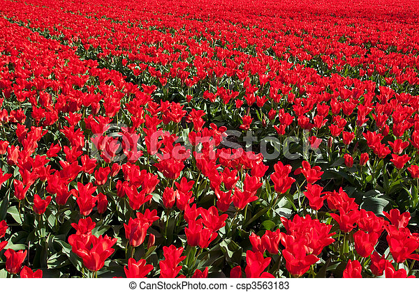 Field of red tulips - csp3563183