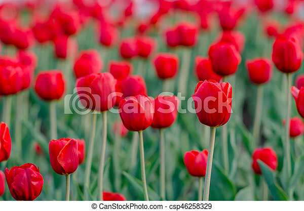 field of red tulips with blurred background - csp46258329