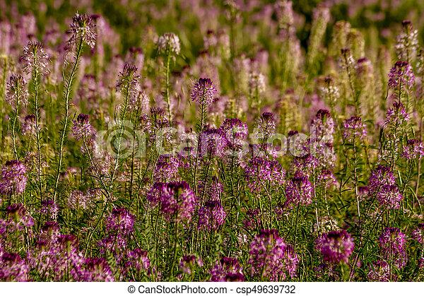 Field Of Rocky Mountain Bee Plants Meadow Of Rocky Mountain Bee Plant Wildflowers