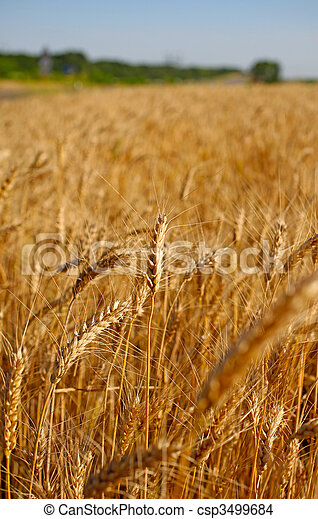 Field of rye before harvest vertical landscape. - csp3499684