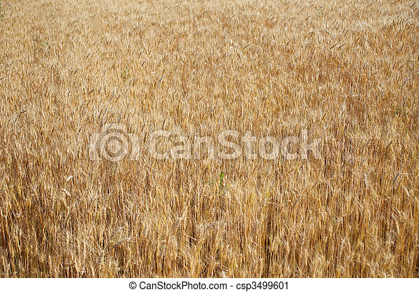 Field of rye ready for harvest. - csp3499601