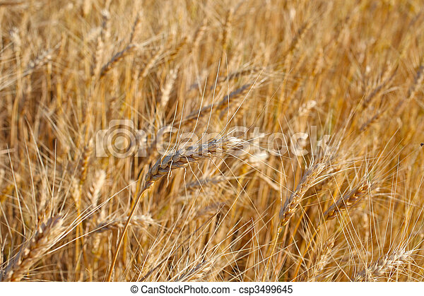 Field of rye ready for harvest. - csp3499645