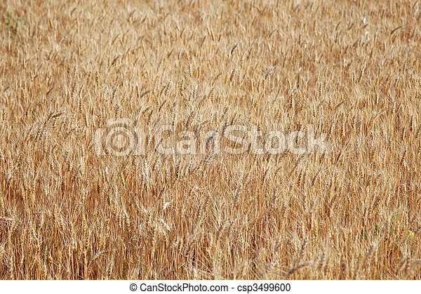 Field of rye ready for harvest. - csp3499600