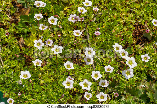 Field of small white flowers - csp82830978