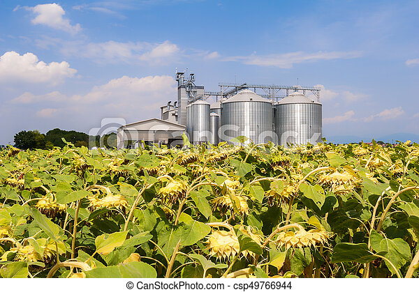 Field of sunflowers ready for harvest. - csp49766944
