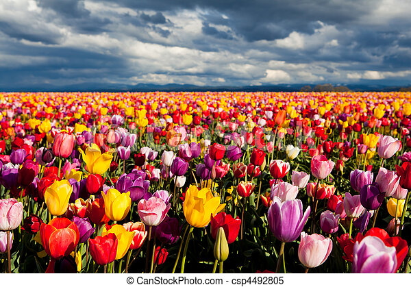 field of tulips - csp4492805