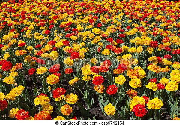 Field of tulips - csp9742154