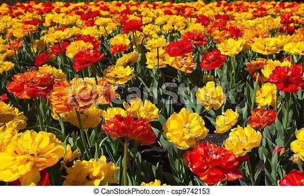 Field of tulips - csp9742153