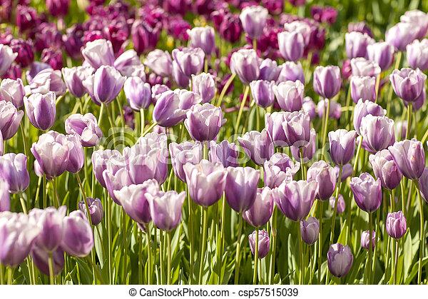 Field of Typical Dutch purple tulips in closeup - csp57515039