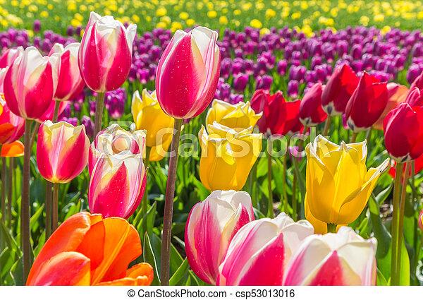 Field of vibrant colorful tulips in Flevoland - csp53013016