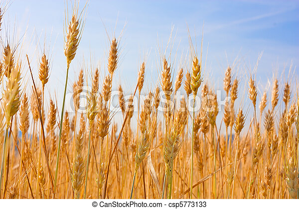 field of wheat - csp5773133