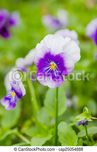 Field Of White And Purple Pansy Flowers In Spring