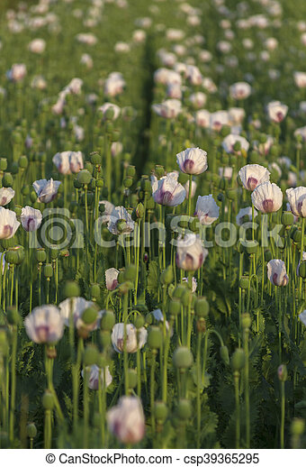 Field of White Poppy Background. - csp39365295