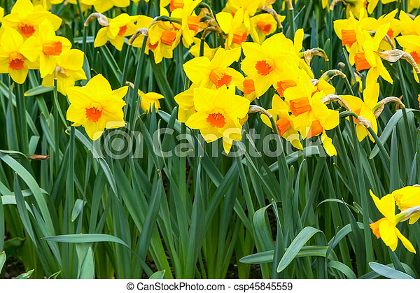 Field of yellow daffodil flowers blooming in spring panoramic field of yellow daffodil flowers blooming in spring panoramic background csp45845559 mightylinksfo
