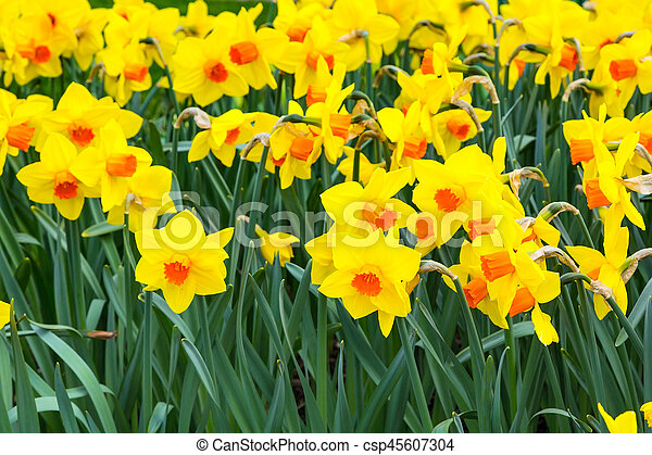 Field of yellow daffodil flowers blooming in spring panoramic field of yellow daffodil flowers blooming in spring panoramic background csp45607304 mightylinksfo