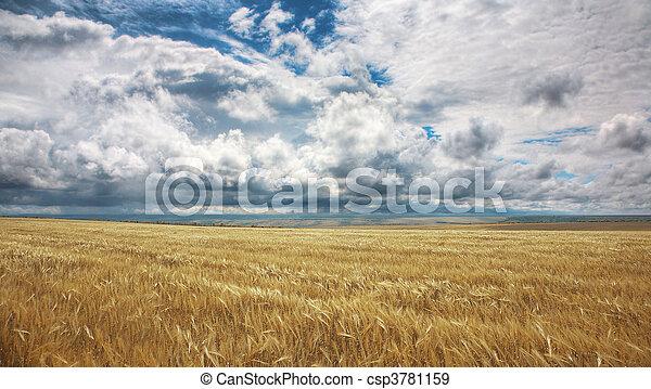 Field of yellow wheat - csp3781159