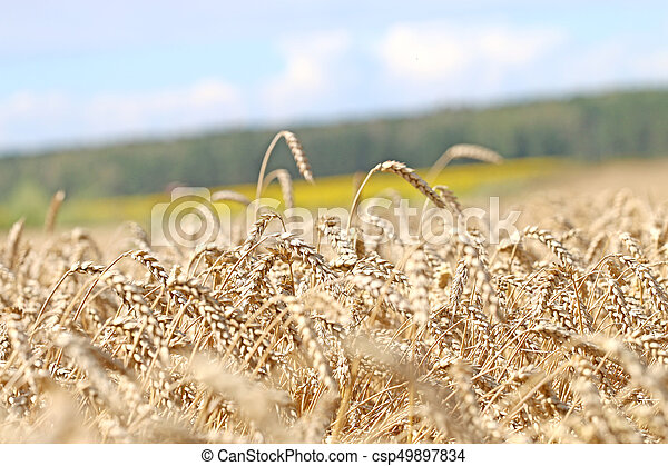 field ready for harvest, - csp49897834