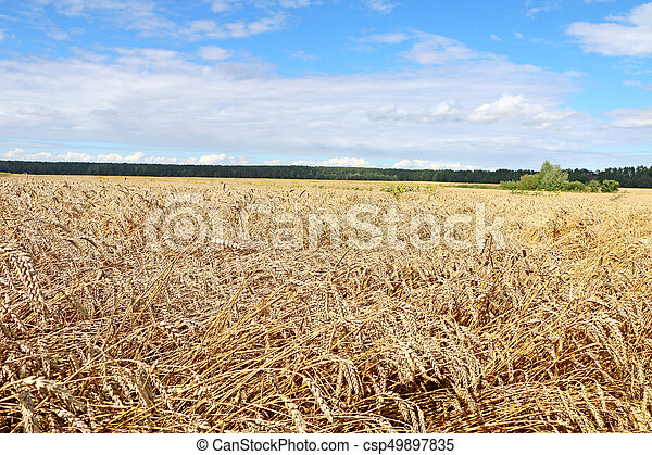 field ready for harvest, - csp49897835