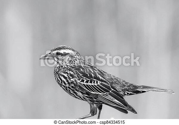 Field Sparrow bird on the fence - csp84334515