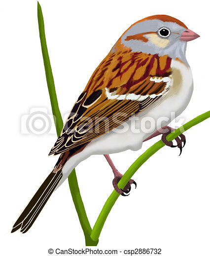 field sparrow spizella pusilla clip art search illustration rh canstockphoto com sparrow clipart outline sparrow clipart black and white
