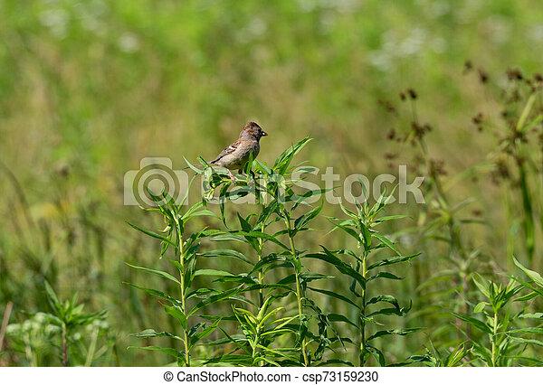 Field Sparrow on a Plant - csp73159230