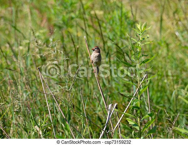 Field Sparrow on a Plant - csp73159232