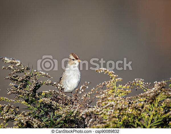 Field Sparrow on Bush - csp90089832
