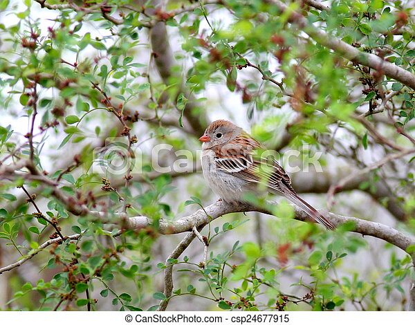 Field Sparrow Perched on a Branch - csp24677915