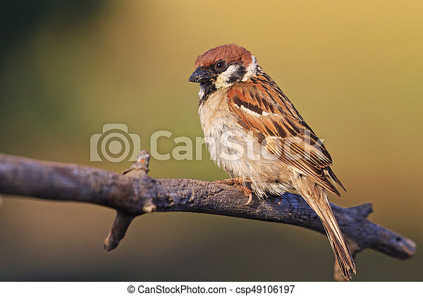 field sparrow sits on the branches in the rays of the sun - csp49106197