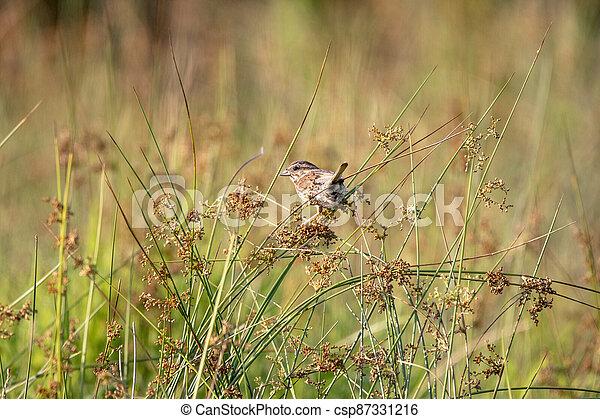 Field Sparrow Sitting on Plants in a Field - csp87331216