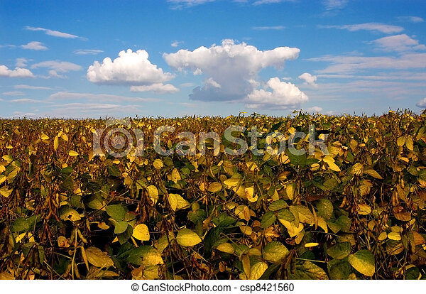 Field with farming of bean
