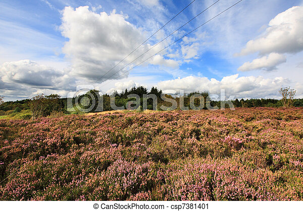 Fields of blooming heather in Scotland  - csp7381401