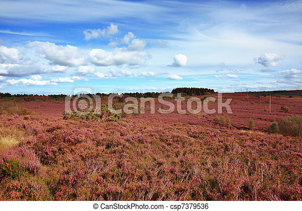 Fields of blooming heather in Scotland  - csp7379536