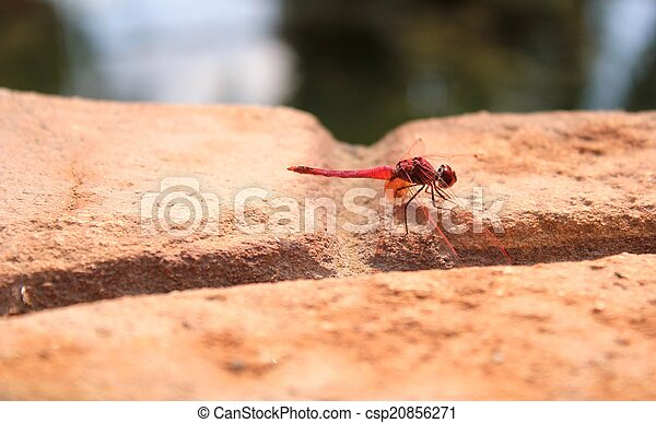 Fiery Red Dragonfly - csp20856271