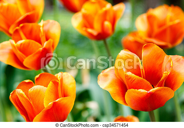 fiery red tulips on blurred background - csp34571454