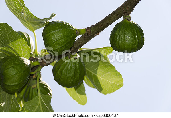 fig tree branch - csp6300487
