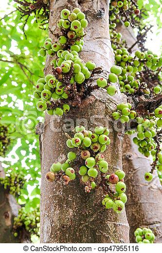 Fig Tree Ficus Carica Subtropical Fruit Raw Fig Ficus Carica
