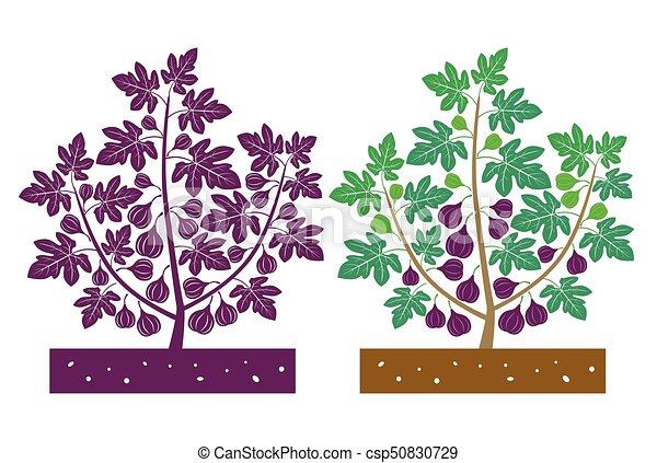 fig tree - csp50830729